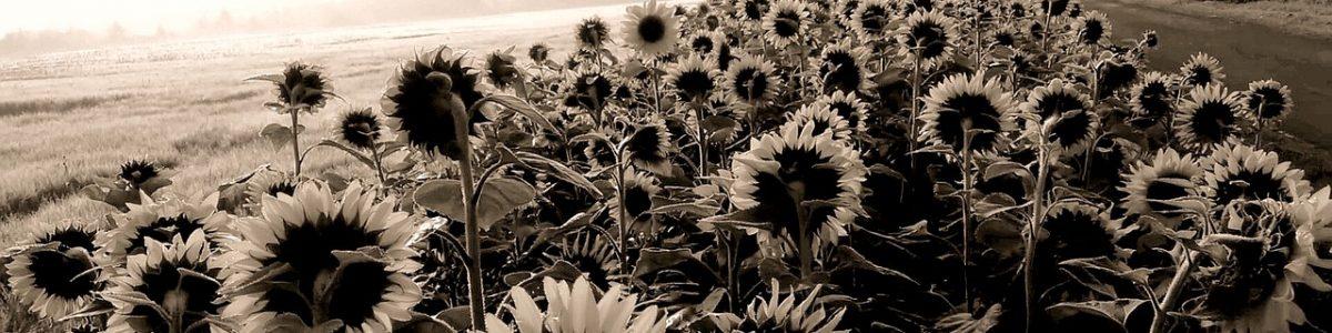 sunflower-2491431_1280